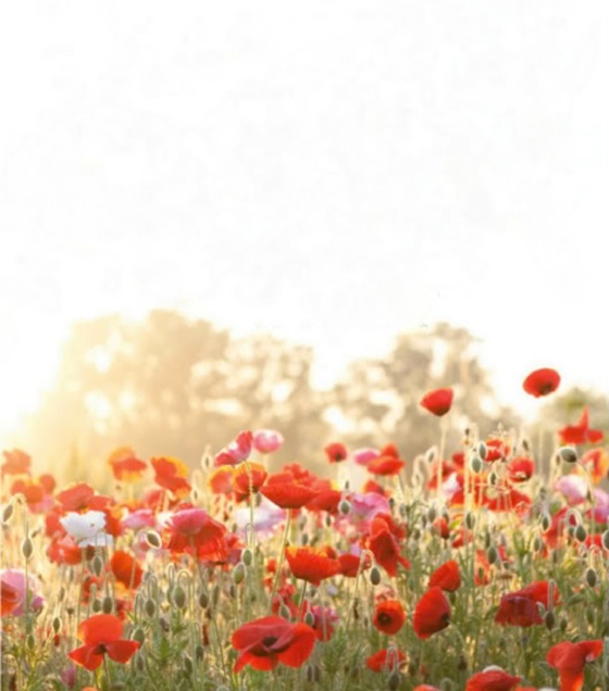 poppies-plentyofcolour_poppiesff12